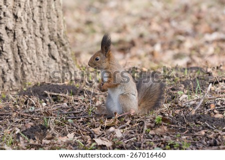 Pretty red squirell stands on paws and looks to the side in the park. - stock photo