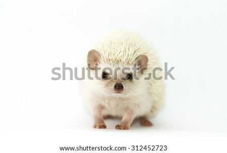 pretty rodent african pygmy hedgehog baby snowflake