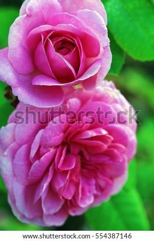 pretty rose stock photo   shutterstock, Beautiful flower