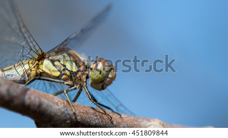 pretty sharp macro photo of a female vagrant darter, you can see the smallest hairs on his body!  - stock photo