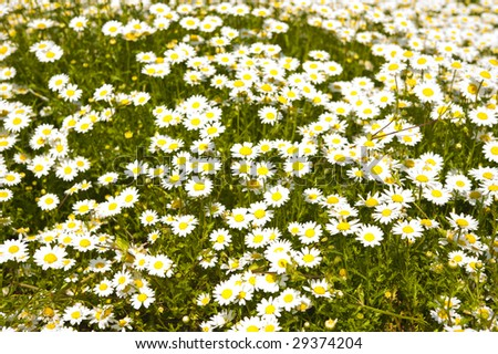 Pretty spring field carpeted with wild daisy's.