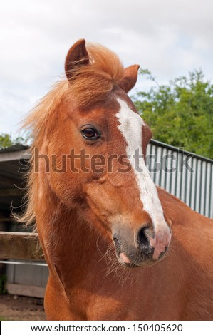 Pretty welsh pony portrait - stock photo