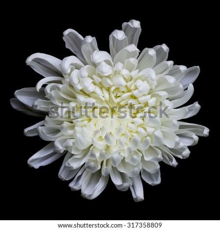 Pretty white flower fresh black background stock photo royalty free pretty white flower fresh with a black background mightylinksfo