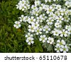 Pretty White Flowers Blooming in a Garden - stock photo