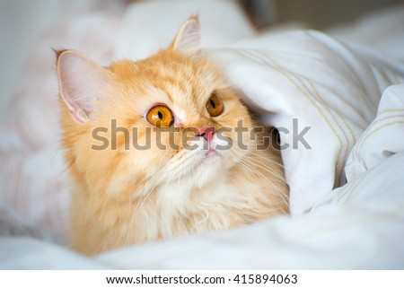 pretty yellow cat under blanket