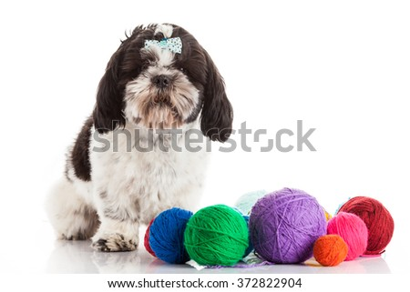 Pretty young shih tzu on a white background