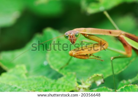 Preying Mantis vigilantly stay on leaves