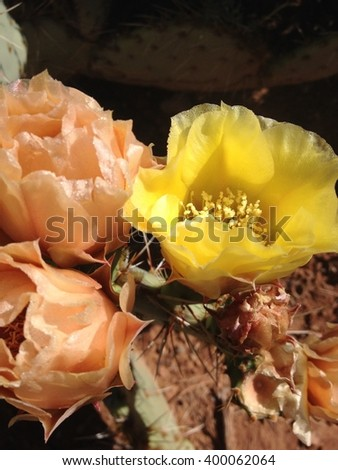 Prickly Pear Bloom - stock photo