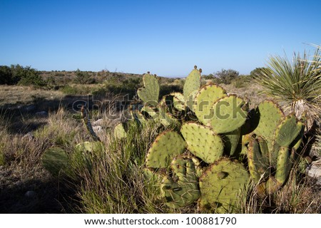 Prickly Pear Cactus and Yucca in Guadalupe Mountains National Park in Texas - stock photo