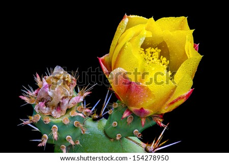 Prickly Pear Cactus Blossom (Opuntia ficus-indica), Santa Monica Mountains, California. - stock photo