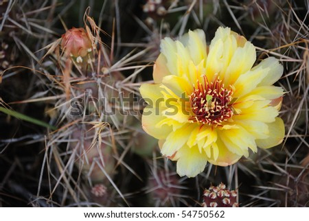 Prickly Pear Cactus in bloom - stock photo