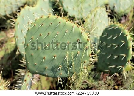 Prickly pear cactus plant - stock photo
