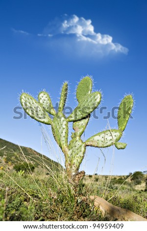 Prickly pear cactus plant in a field - stock photo