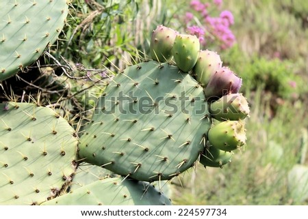 Prickly pear cactus plant ( opuntia ficus-indica) - stock photo