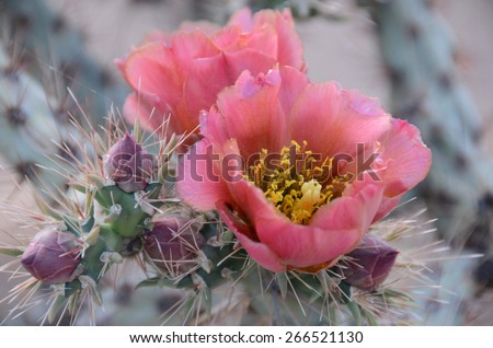 Prickly Pear Cactus with Pink Flowers - stock photo