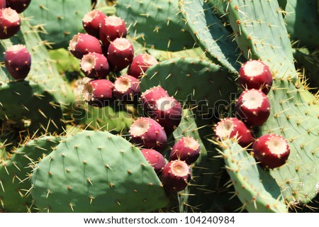 prickly pear (opuntia) cactus with fruit - stock photo