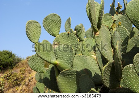 Prickly pears - stock photo