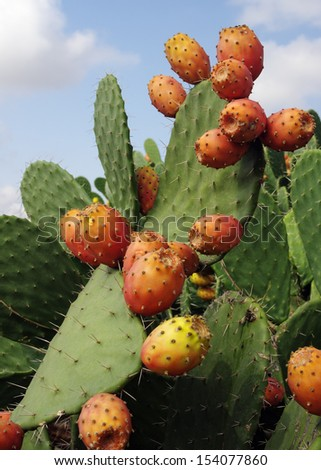 Prickly pears (Opuntia ficus-indica) - also known as indian figs, opuntia, barbary figs, and cactus pears. Photo taken in Sicily, Italy, where this fruit is known as 'fico d'india'. - stock photo