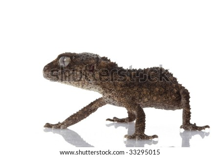 Prickly Rough Knob-tailed Gecko (Nephrurus asper) isolated on white background.