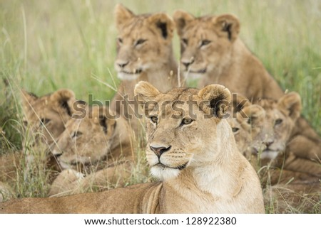 Pride of African Lions (Panthera leo) in Tanzania's Serengeti National Park - stock photo