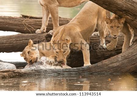 Pride of Lion feasting on a Hippo Kill in the Ruaha National Park, Tanzania. - stock photo