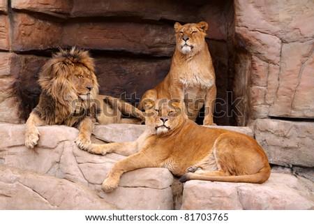 Pride of lions - stock photo