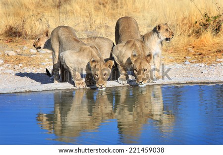 Pride of Lions drinking from a waterhole with reflection - stock photo