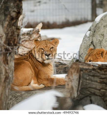 Pride of Lions in wintertime at the zoo