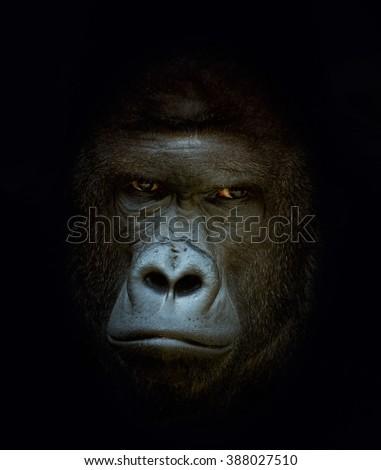 Primate Gorilla Portrait - stock photo