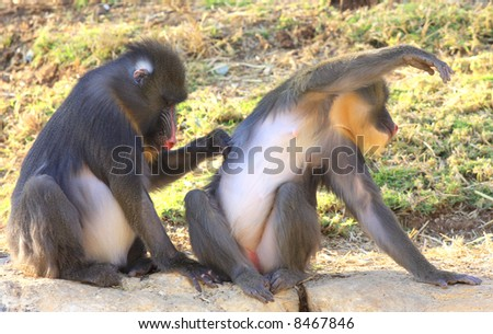 Primates cleansing each other - stock photo
