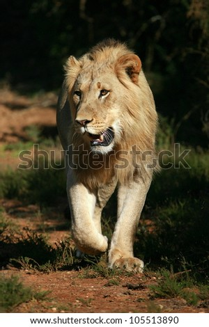 Prime condition sub adult male lion approaches,walking straight towards the camera,in this beautifull low angle profile portrait taken in Addo Elephant national park,eastern cape,south africa - stock photo