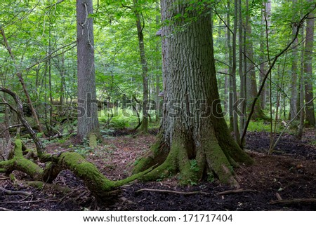 Primeval deciduous stand of Bialowieza Forest in summer with old oak tree in foreground - stock photo