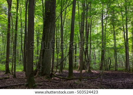 Primeval deciduous stand of Bialowieza Forest in summer with old trees and lush foliage,Bialowieza Forest,Poland,Europe