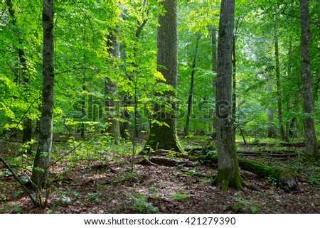 Primeval deciduous stand of natural forest in summertime with huge spruce in foreground,Bialowieza Forest,Poland,Europe - stock photo