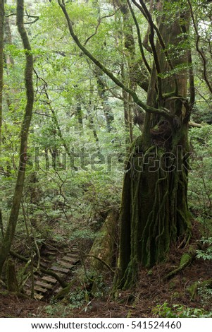 Primeval forest in Yakushima Island, natural World Heritage Site in Japan