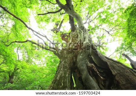 Primeval forest of Chestnut tree, Gunma, Japan - stock photo
