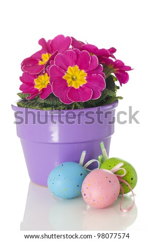 Primrose in flower pot isolated on a white background