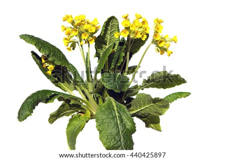 Primrose or primula veris, also known as cowslip on white background, this plant is used for lung diseases.