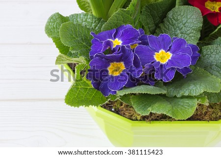 primrose. spring flowers in the pot with soil. color image with space for text