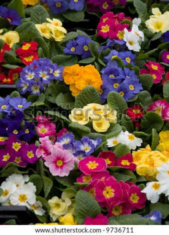 primroses - stock photo