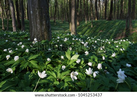Primroses in the beech forest. Landscape with the first spring flowers. Blooming white anemone