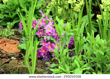 Primula cultivar, spring flower in the country wild garden - stock photo