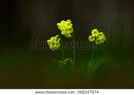 Primula elatior, the oxlip or true oxlip, yelow spring flower with dark forest at background, nature habitat, Czech Republic - stock photo