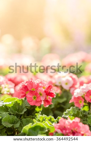 primula flowers. spring flowers primrose in garden - stock photo