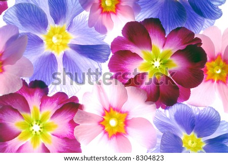 primula flowers with different color