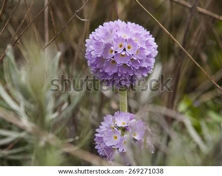 Primula in bloom Denticulata Hybridis - stock photo