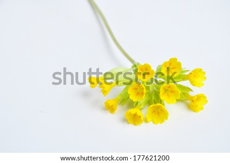 Primula veris, spring flower - stock photo