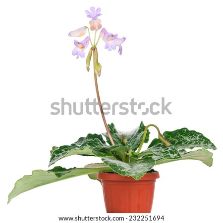 Primulina flowers in the flowerpot isolated on a white background - stock photo