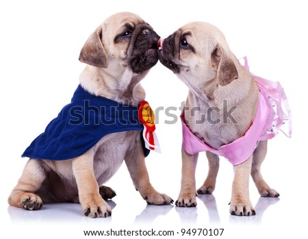 princess and champion pug puppy dogs kissing on white background. couple of mops puppy dogs , dressed like a champion and a princess, kissing - stock photo