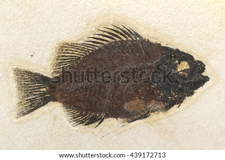 Priscacara fish fossil from Green River Formation/ Wyoming